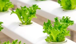 hydroponic salad production